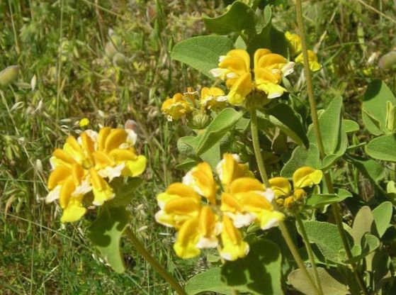 Цветок зопник
