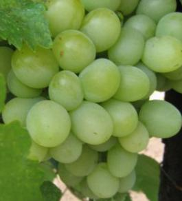 виноград шаян описание сорта фото